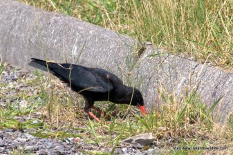 Chough foraging in West Cork
