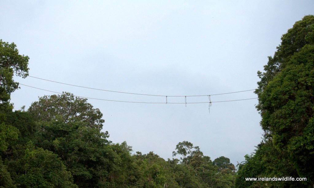 Orangutan rope bridge