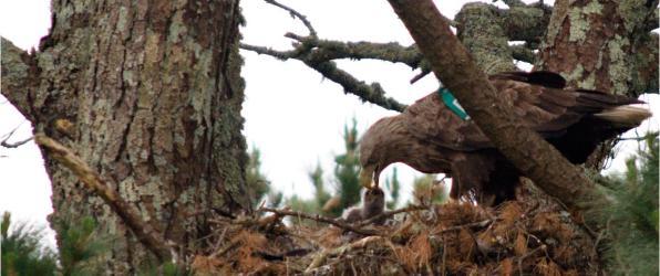 White-tailed eagle nest