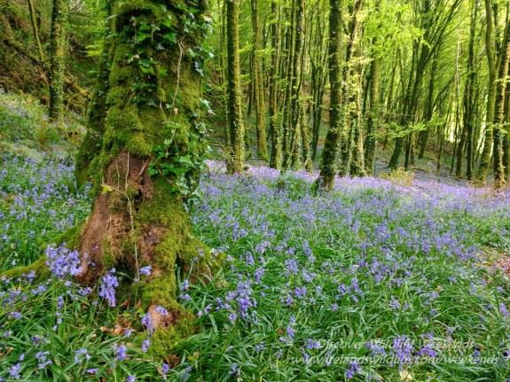 Bluebells, West Cork