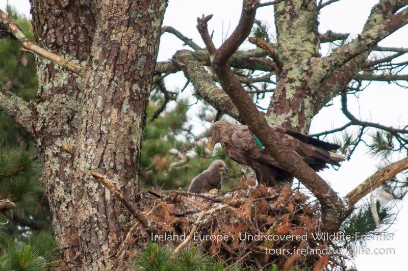 White-tailed eagle Ireland