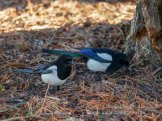 Magpies foraging