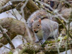Grey Squirrel, Panasonic G9, Leica DG 200mm + 1.4x Teleconverter