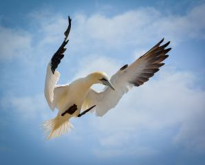 Beauty in Flight, Gannet by Chris Howes