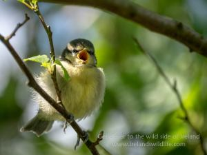 Feed Me: fledgling blue tit, Lumix G9 + Leica DG 50-200mm f2.8-4.0