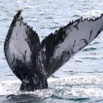 Humpback Whale match Cape Verde