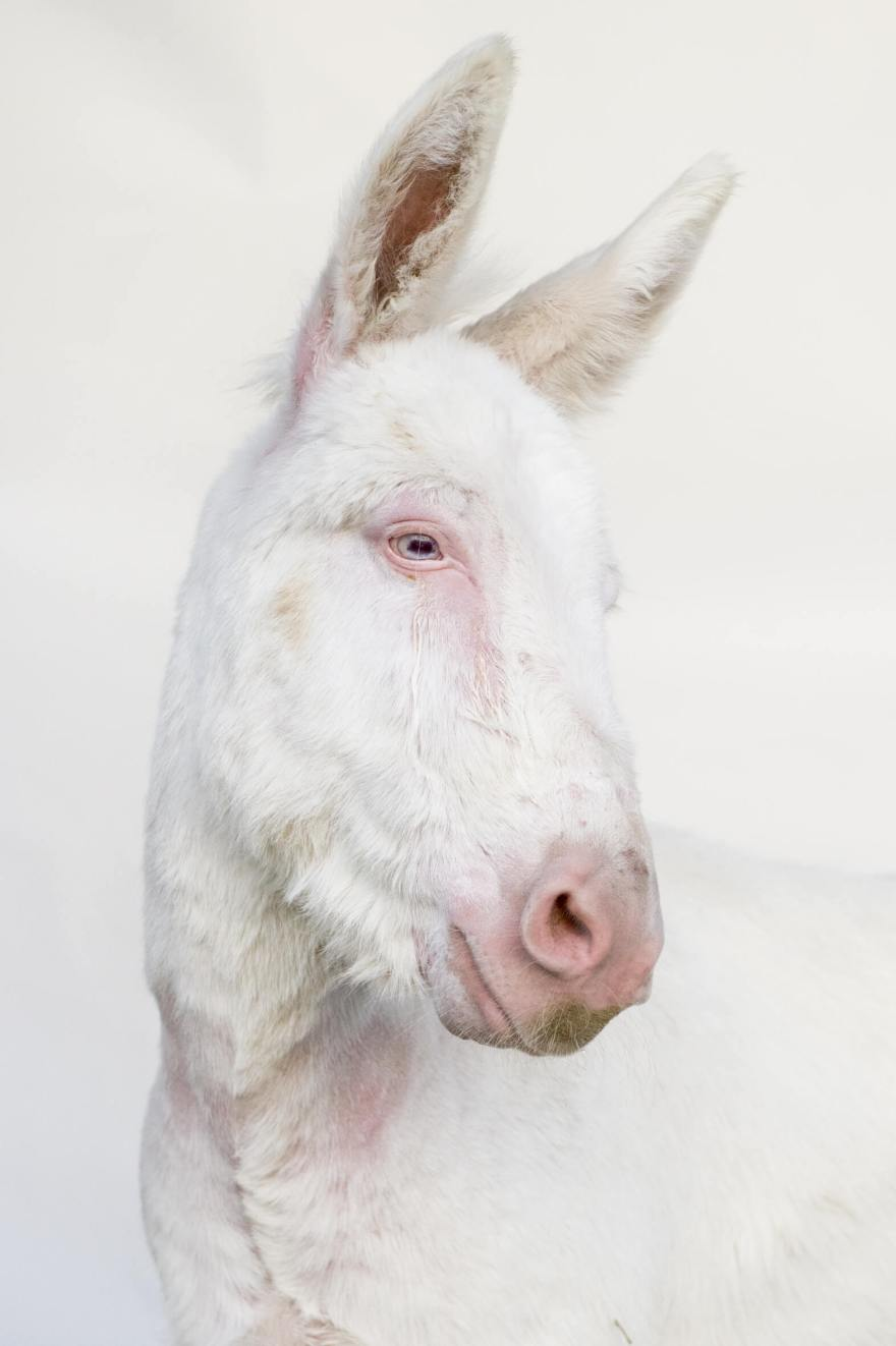 asinello-albino-dellasinara_03
