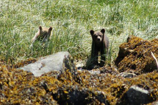 Grizzly jongen Canada