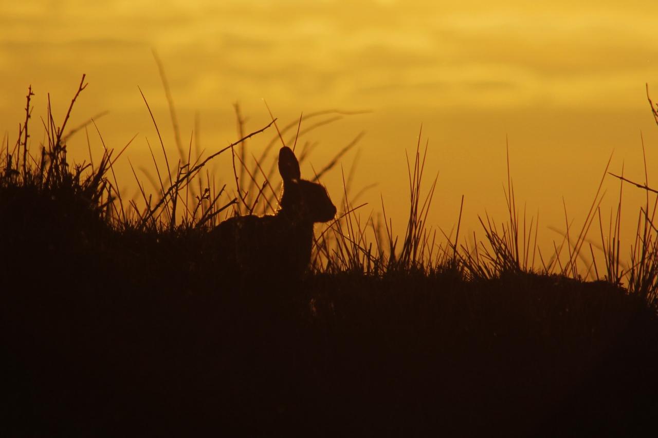 Silhouet van konijn op Ameland