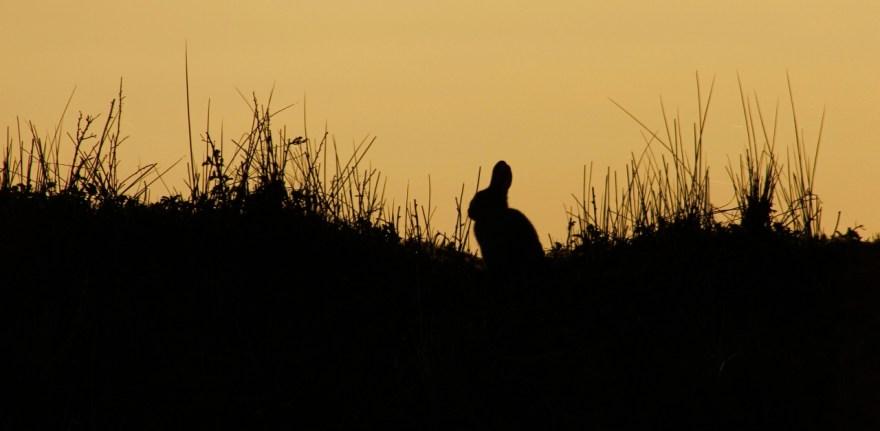 Silhouet konijn Ameland