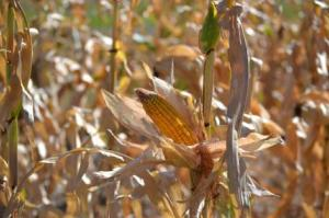 Dryland Corn photo