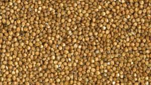 Grain Sorghum Seed close up