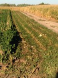 Sugar Beet Harvest September Topping 4