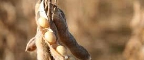 DRY LAND SOYBEAN