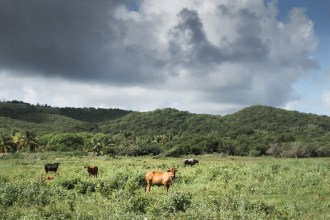 Livestock graze in a field that normally functions as a reservoir. Below average rainfall during the 2014 wet season left water resources in short supply as the dry season loomed. Antigua, December 2014. Photo: Elisabeth Gawthrop/IRI