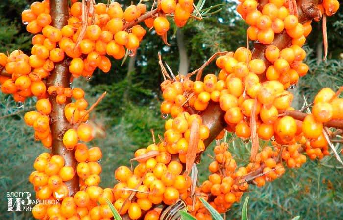 Сорта облепихи без шипов высокоурожайные низкорослые раннеспелые