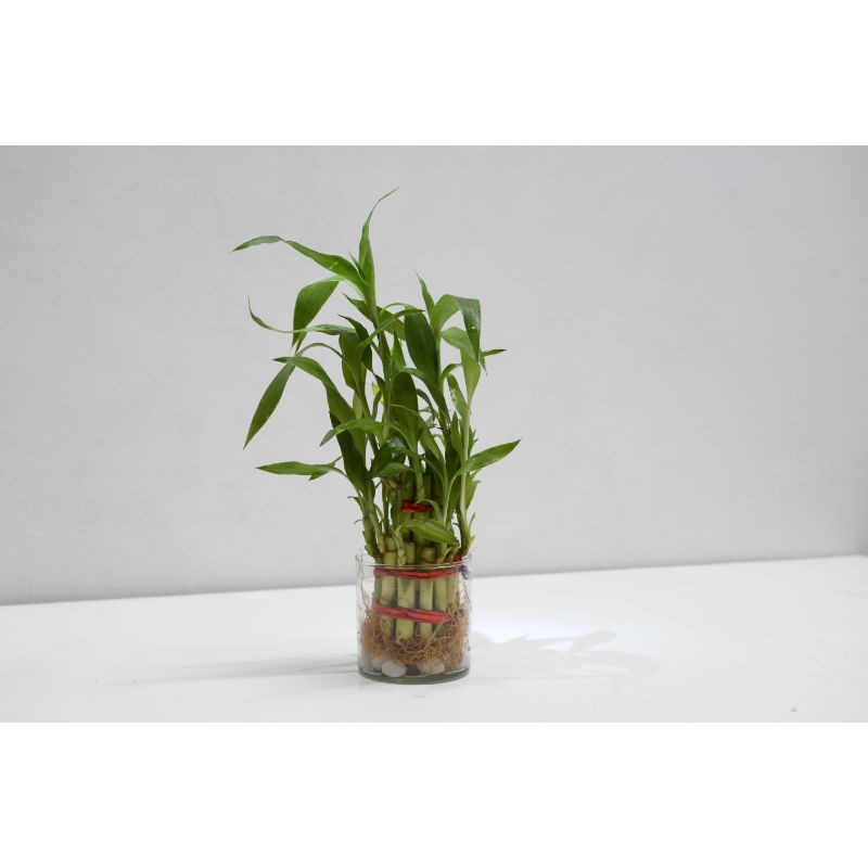 Two layer lucky Bamboo