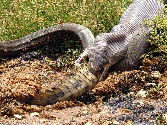 Snake eats crocodile after epic fight in Queensland