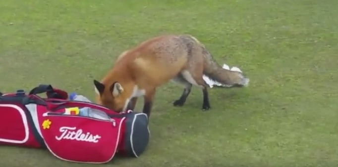 Irish Fox Sneaks Onto Golf Course