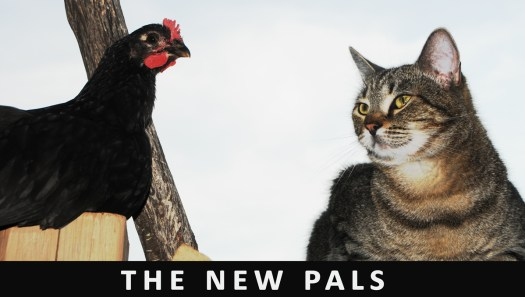 Photography By Gary Crossey - The New Pals 2016 (Chicken and Cat)