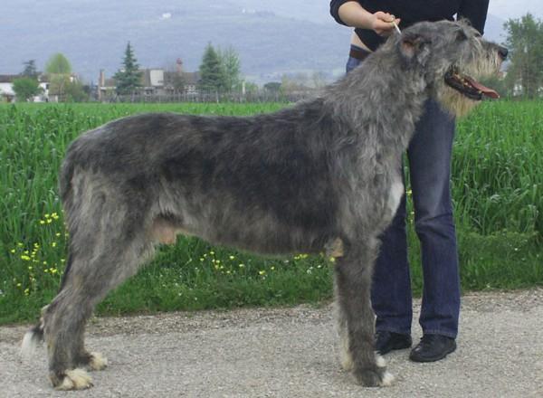 Araberara Legor Irish Wolfhound