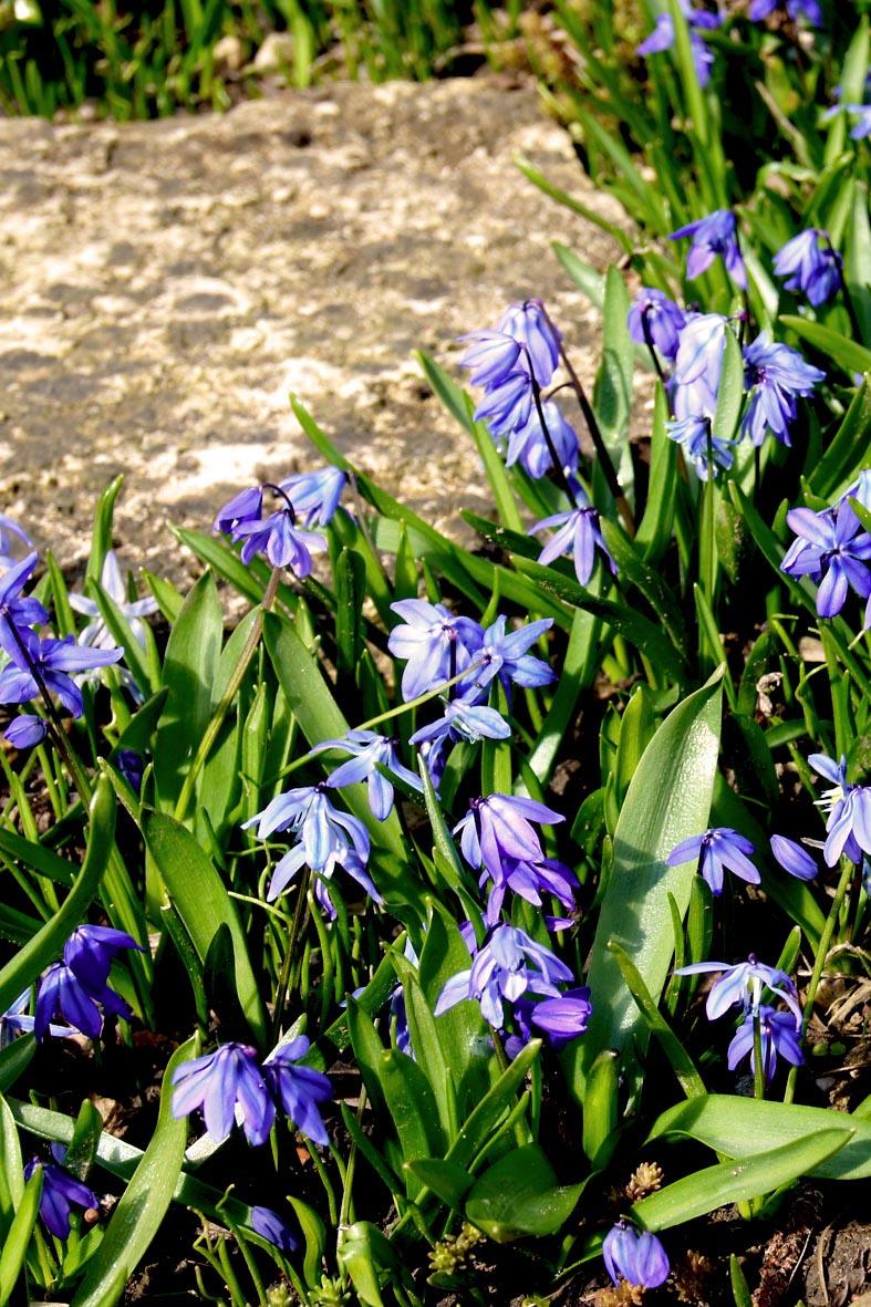 Sibirischer blaustern scilla siberica for Gartengestaltung 400 m2