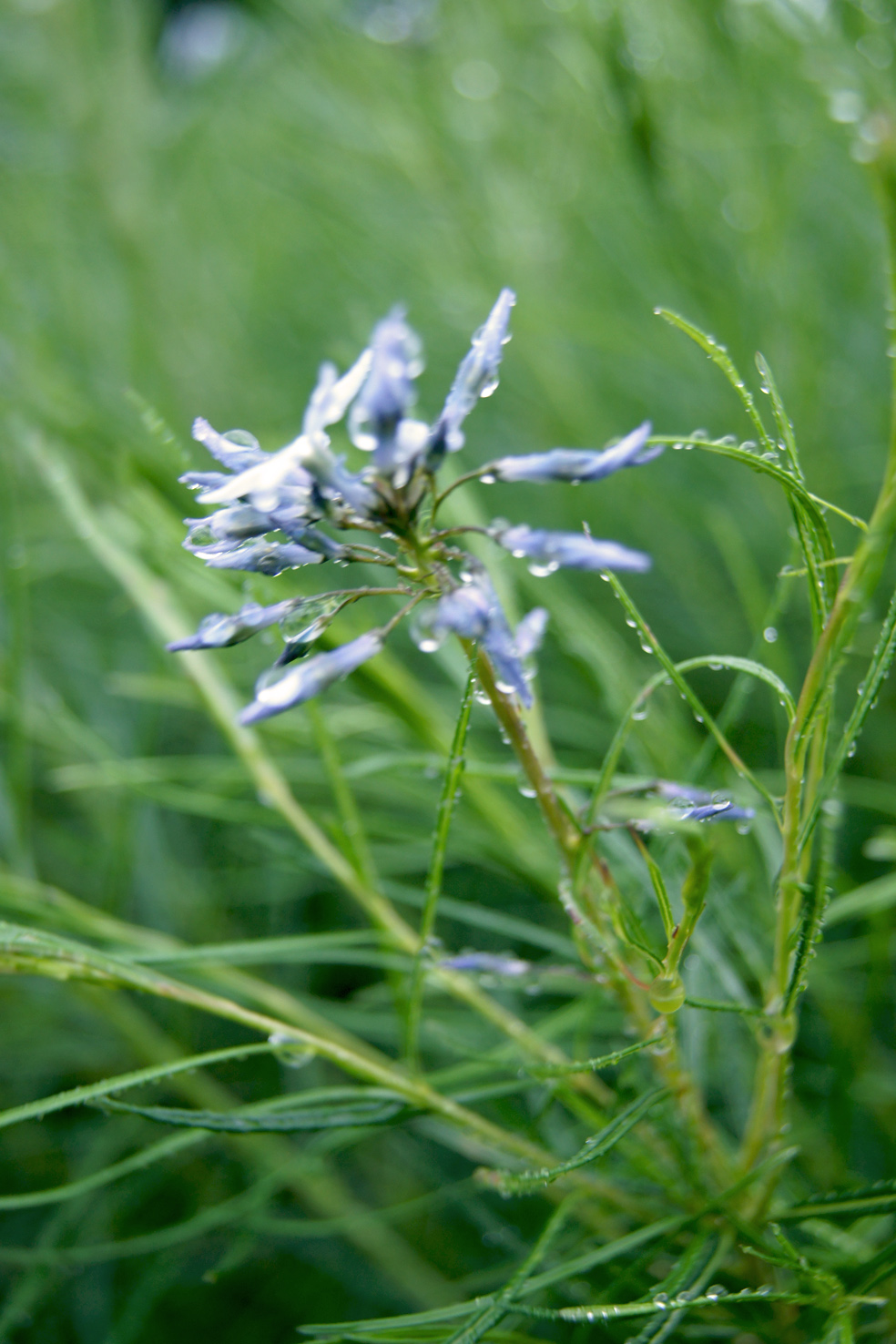 Amsonia hubrichtii (Blausternbusch)