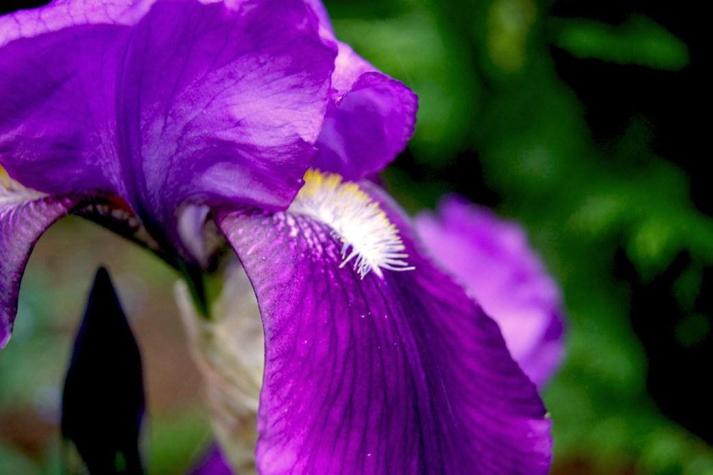 Iris `Blackhawk` (Schwertlilie)