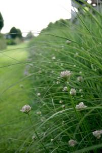 Allium `Summer Beauty` und Miscanthus sinensis 'Kleine Silberspinne'