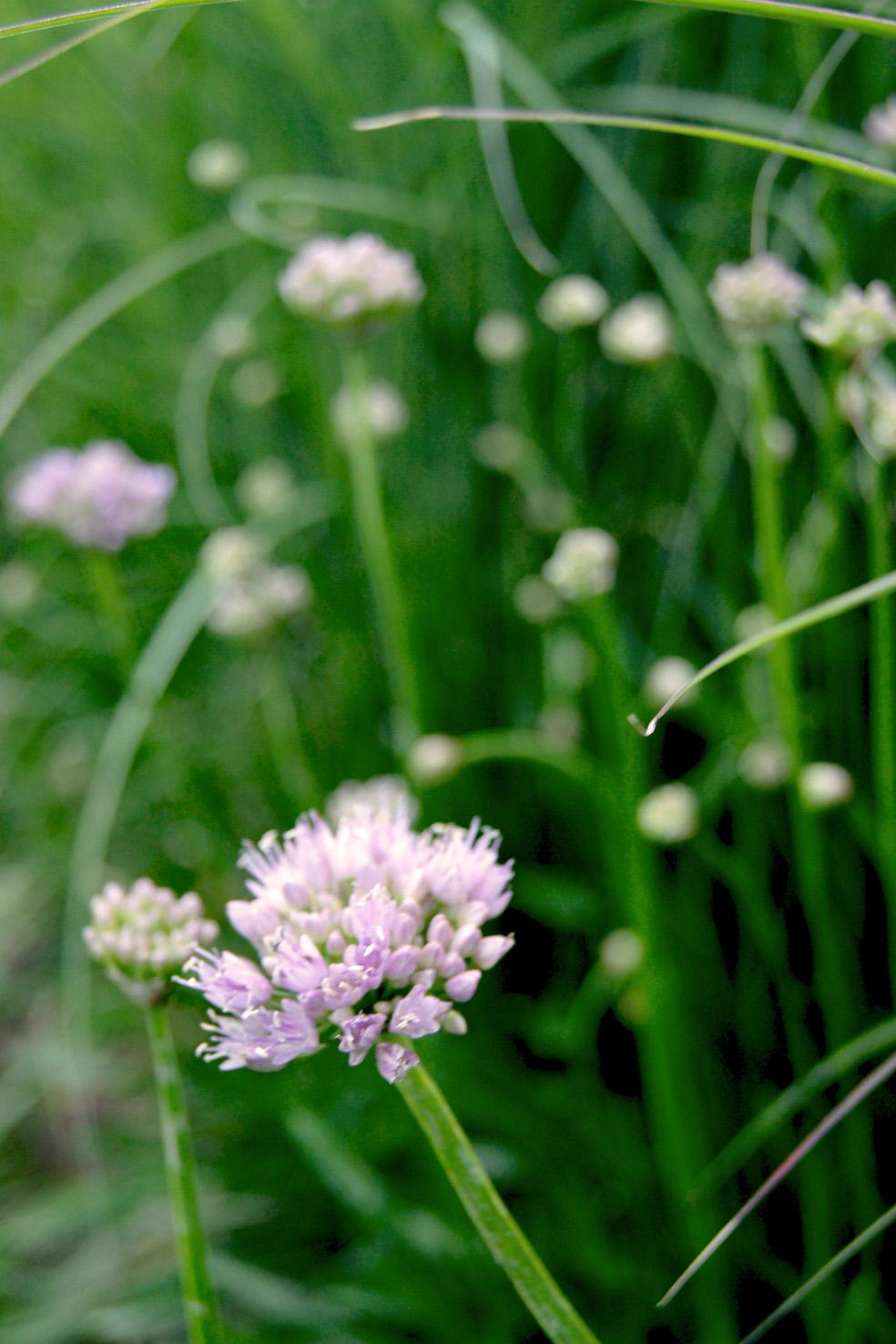 Allium `Summer Beauty`