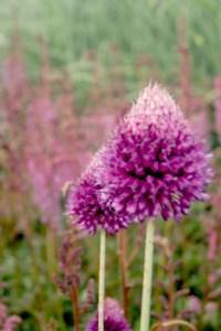 Allium sphaerocephalon (Kugel-Lauch)