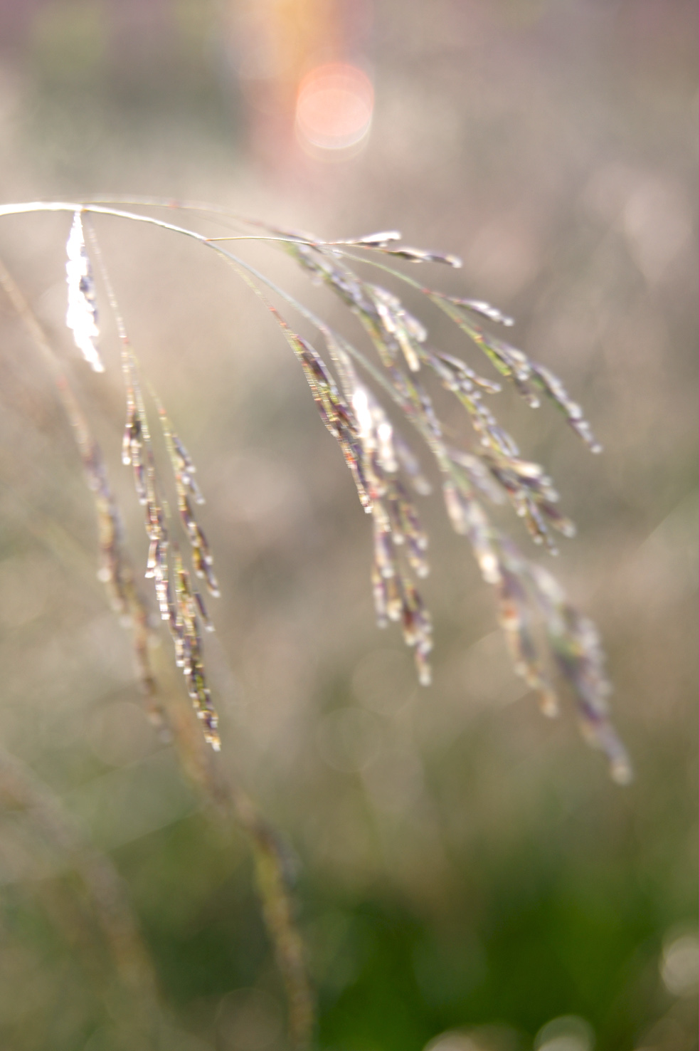 Deschampsia cespitosa 'Goldschleier' (Wald-Schmiele)