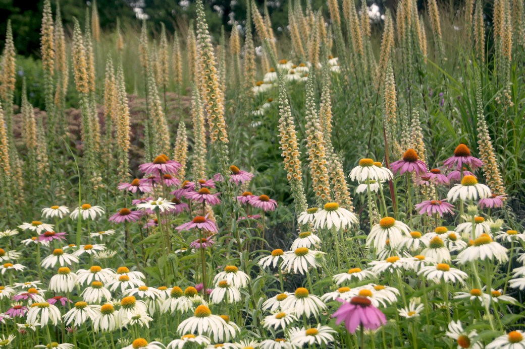 Echinacea 'Sussex Prairie Seedling' und Digitalis ferruginea