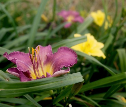 Hemerocallis 'Princess blue Eyes' (Taglilie)