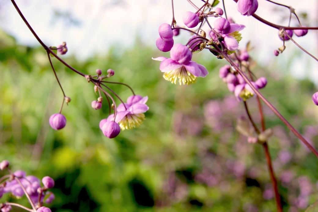 Thalictrum rochebrunianum (Prächtige Wiesenraute)