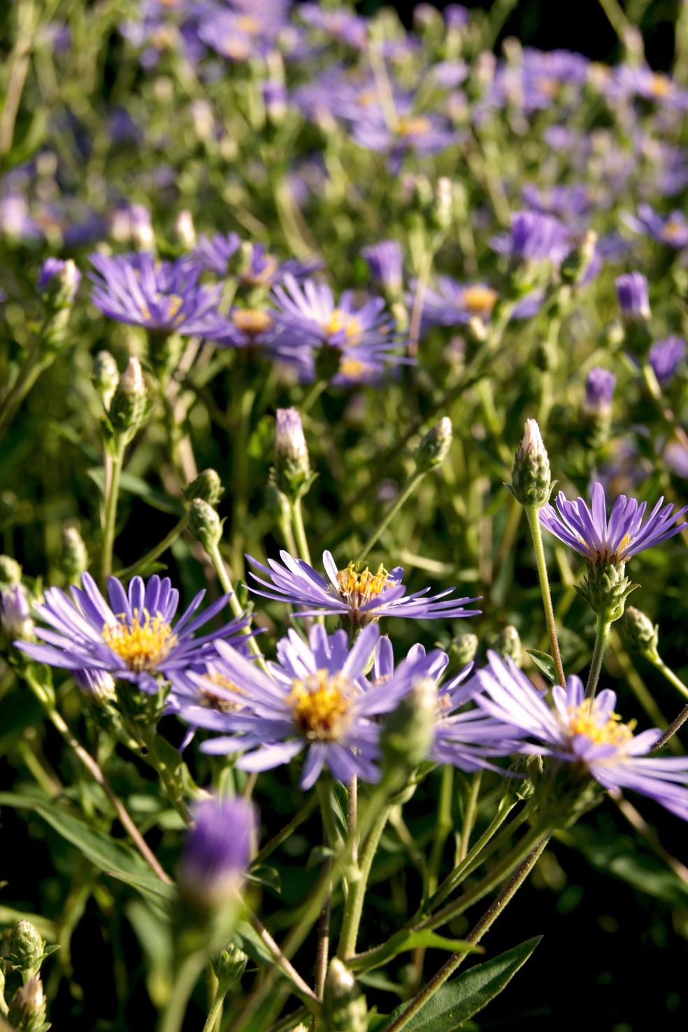Aster macrophyllus 'Twilight' (Herzblatt-Aster)