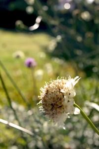 Cephalaria dipsacoides (Anatolische Riesenskabiose)