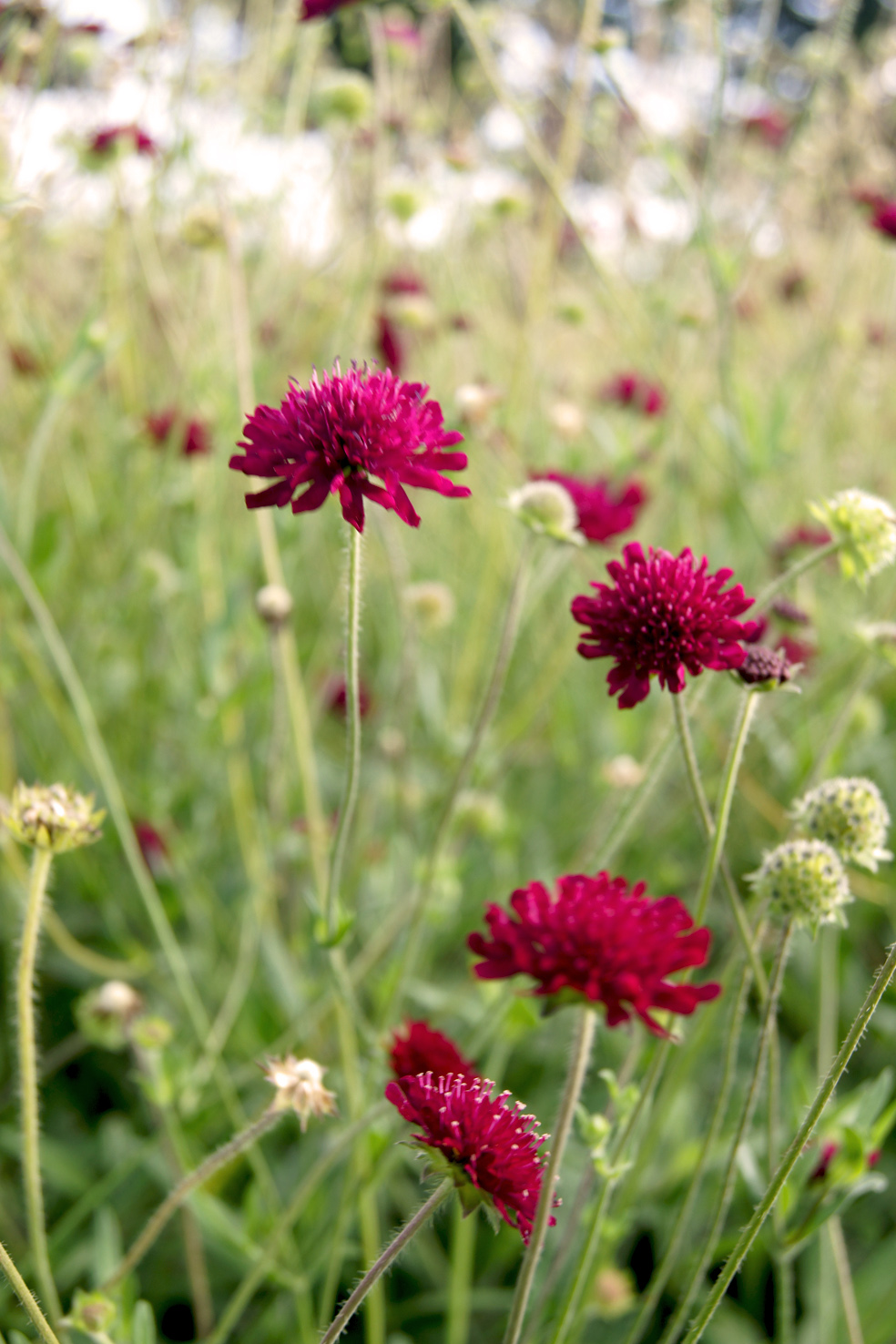 Knautia macedonica (Witwenblume)