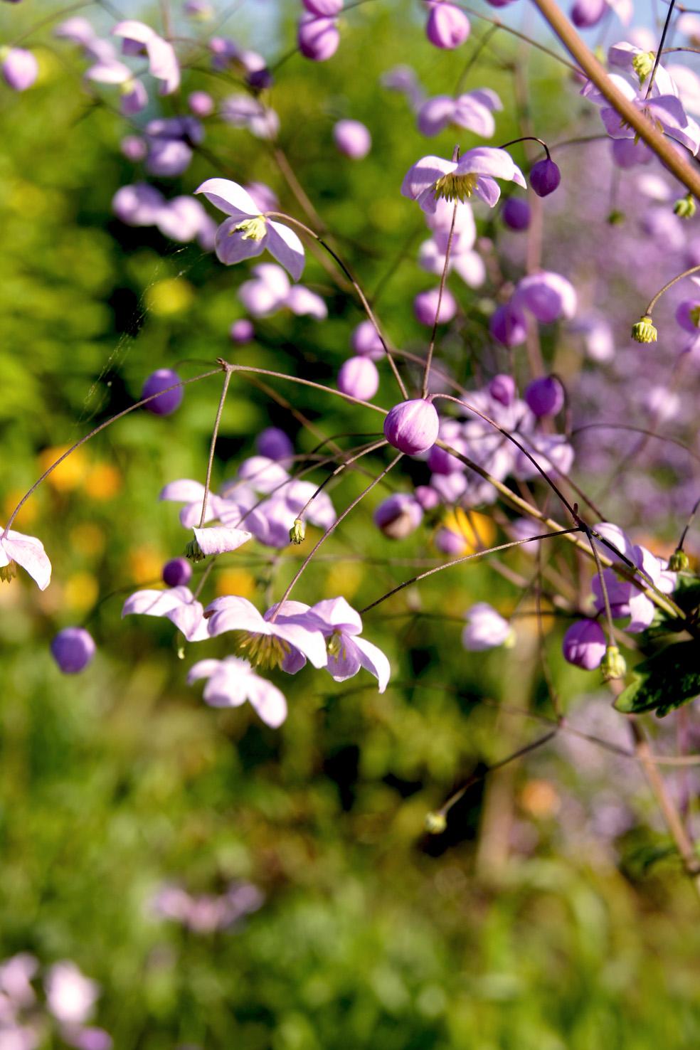 Thalictrum delavayi 'Splendid' (Wiesenraute)