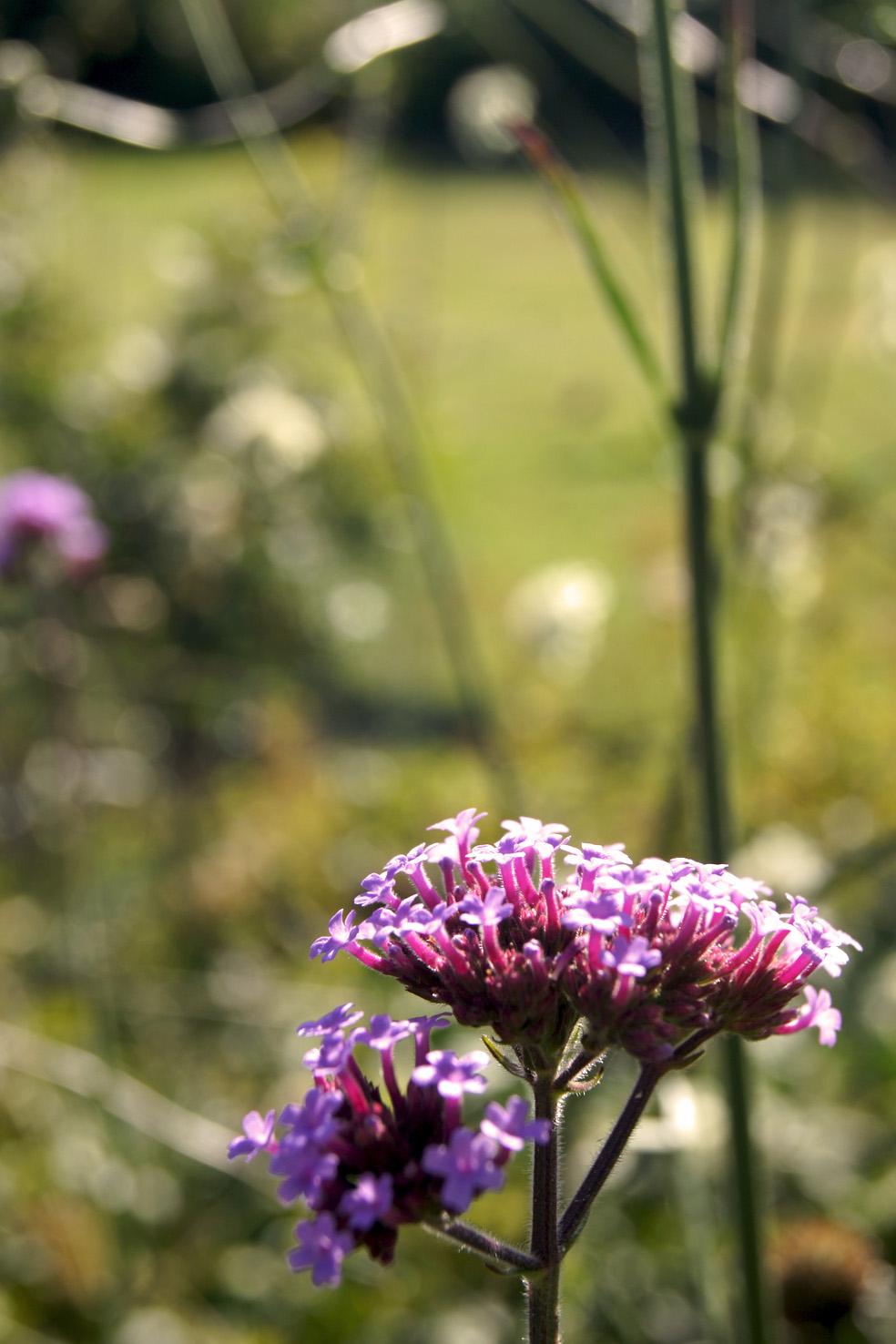 Verbena bonariensis (Patagonisches Eisenkraut)