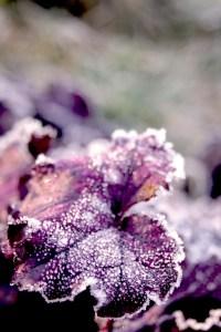 Heuchera micrantha 'Palace Purple' (Purpurglöckchen)