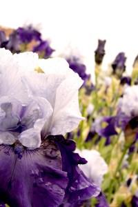 Iris barbata-elatior 'Best Beet' (Garteniris)