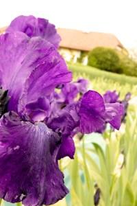 Iris barbata-elatior 'Violet Classic' (Garteniris)