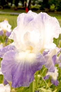 Iris barbata-elatior 'Clarence' (Garteniris)