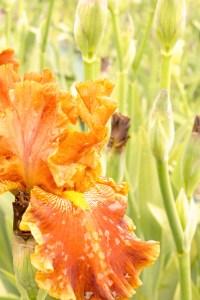 Iris barbata-elatior 'Rustler' (Garteniris)