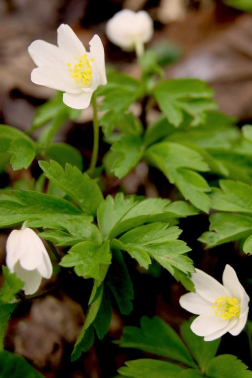 Buschwindröschen, Anemone nemorosa, Garten Blog