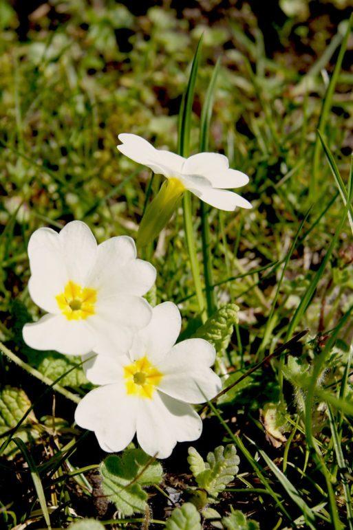 Kissenprimel, Primula vulgaris Hybriden, Garten Blog