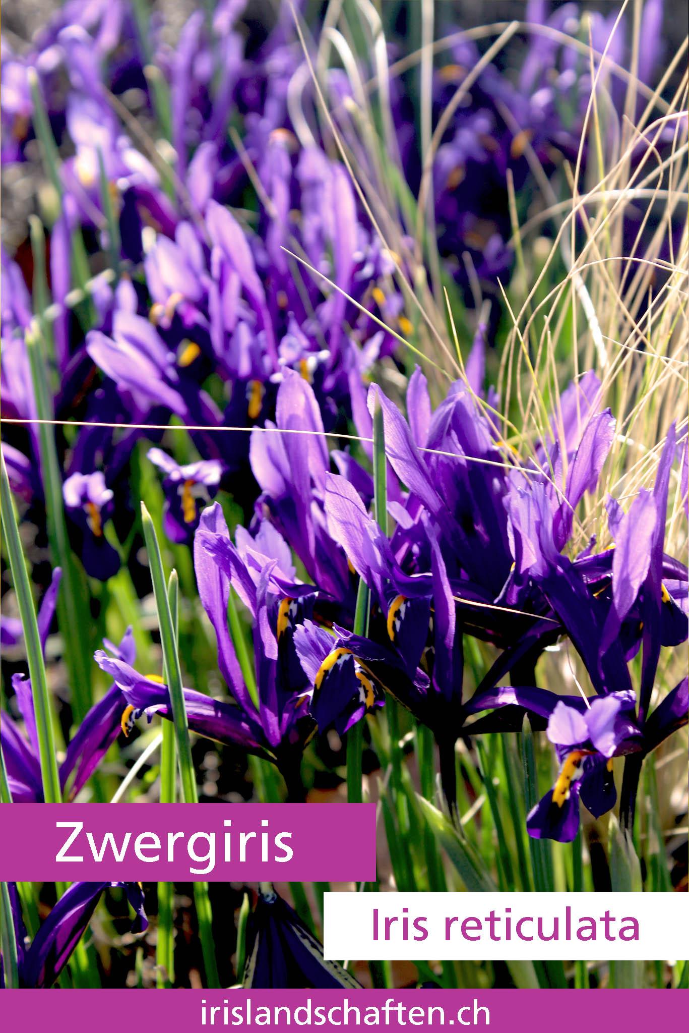 Zwergiris Iris reticulata Gartengestaltung