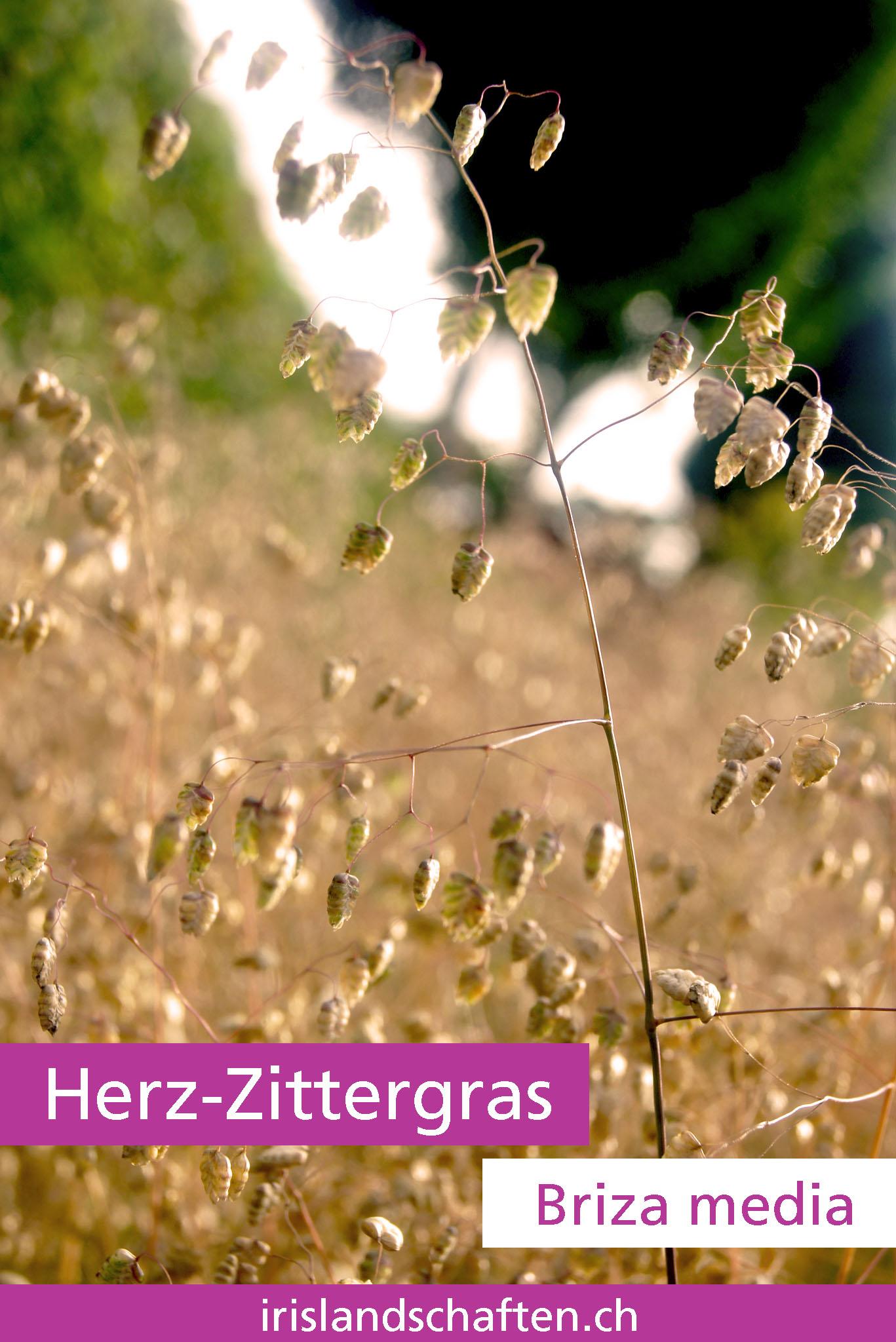 Herz-Zittergras Briza media Gartengestaltung