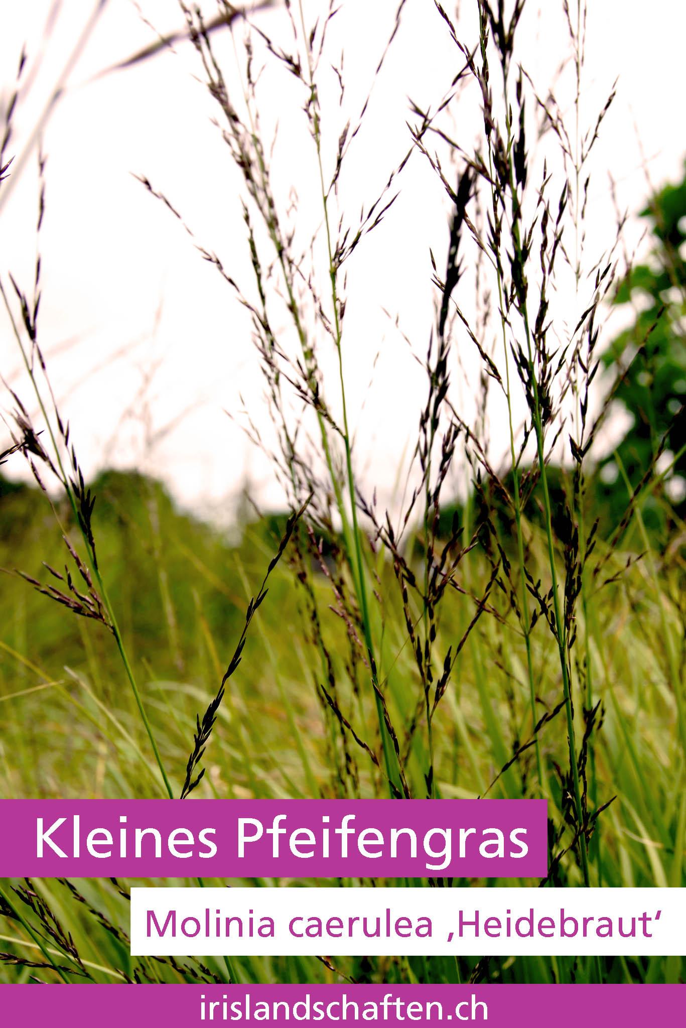 Kleines Pfeifengras Molinia caerulea 'Heidebraut ' Gartengestaltung